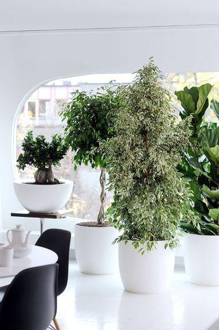 Ficus en février - image2