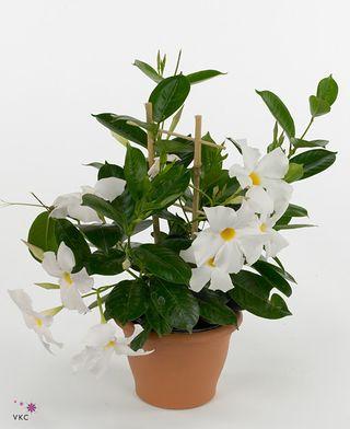 Les mand villas ou diplad nias le pouvoir des fleurs for Interieur de la bouche blanche