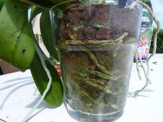Phalaenopsis-verre_03