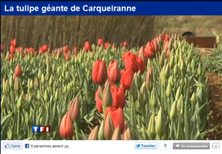 Tulipe_carqueyranne_2