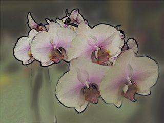 Phalaenopsis 21f