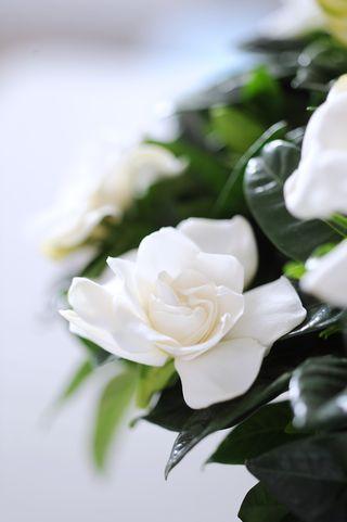 Gardenia 5