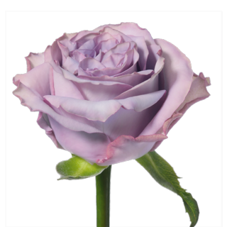 Dolcetto_sideview_lavender_rose