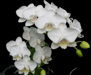 Phalaenopsis moi with