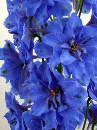 Delphinium brilliant blue.JPG-for-web-large