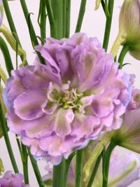Delphinium blush milka4