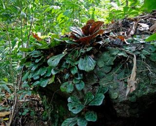 Begonia-blancii-and-Pothos