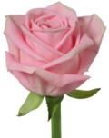rose_Heidi