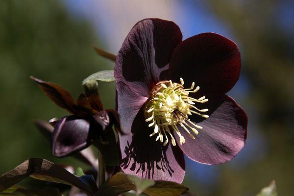 6 fleurs noires a trouver chez votre fleuriste - le pouvoir des fleurs