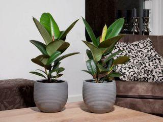 4 conseils pour votre ficus elastica le pouvoir des fleurs. Black Bedroom Furniture Sets. Home Design Ideas