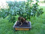 Ficus Gindeng au mois de juin