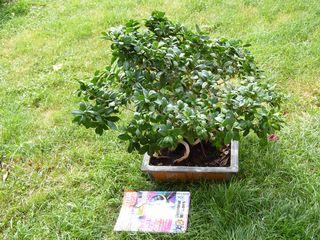 Ficus-ginseng_03