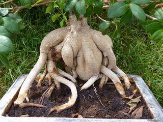 Ficus-ginseng_04