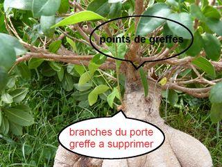 Ficus-ginseng_02