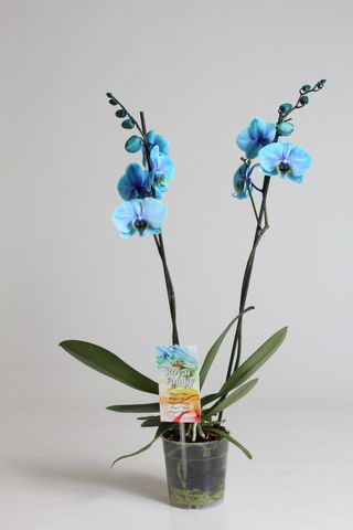 orchidee wonder blue