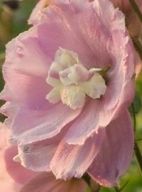 Delphinium rose1detail (2)