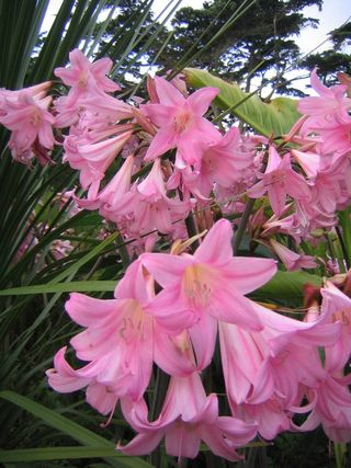 Lis belladone
