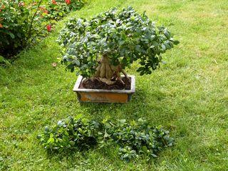 Ficus_03