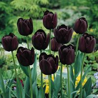 Black_queen_of_night_tulip_