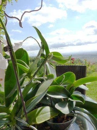 bébé orchidée keiki sur la tige
