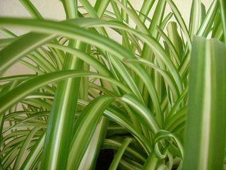 Chlorophytum belle plante dépolluante d'appartement