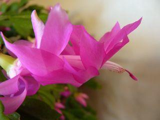 Schlumbergera-cactus de Noel_02