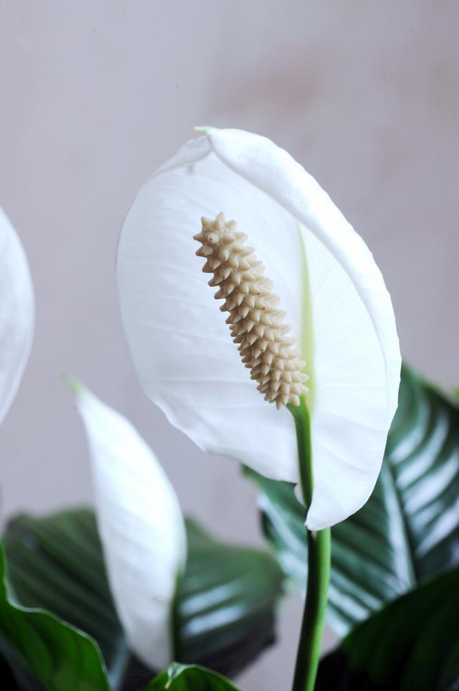 Spathiphyllum-détail