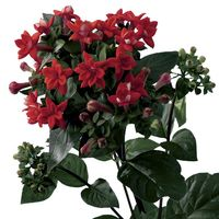 Bouvardia-Diamond Red