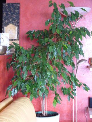 Ficus-sept-benja