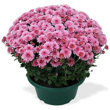 quelle plante pour la toussaint le pouvoir des fleurs. Black Bedroom Furniture Sets. Home Design Ideas