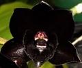 une orchidée noire ? - le pouvoir des fleurs