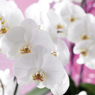 Orchidée-Phalaenopsis_00
