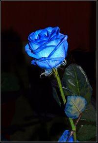 rose teintée