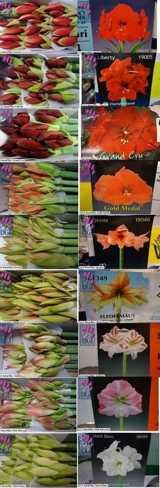 Amaryllis_fleurs_variétés