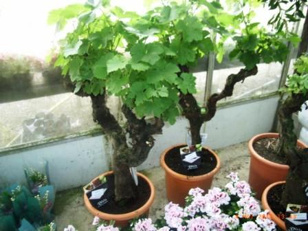 pieds de vigne en pot - Le pouvoir des fleurs