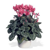 Interflora-cyclamen
