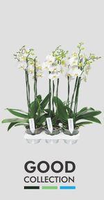 Orchidée-Phalaenopsis-good