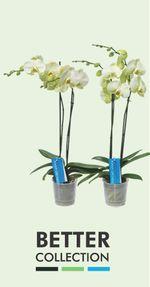 Orchidée-Phalaenopsis-better