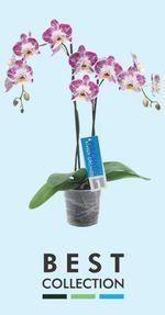 Orchidée-Phalaenopsis-Phalaeno-best