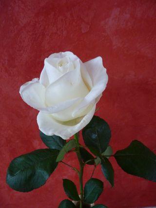 Rose après-ski_02