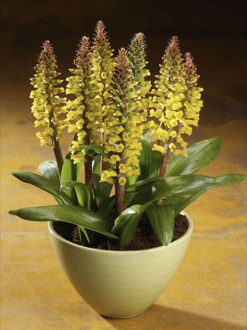 une plante originale le lachenalia le pouvoir des fleurs. Black Bedroom Furniture Sets. Home Design Ideas