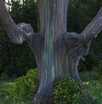 Eucalipto-arco-iris-02