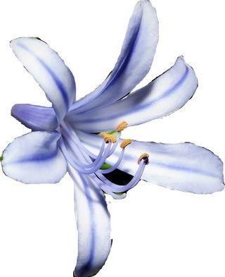 Fleur_mystere_20