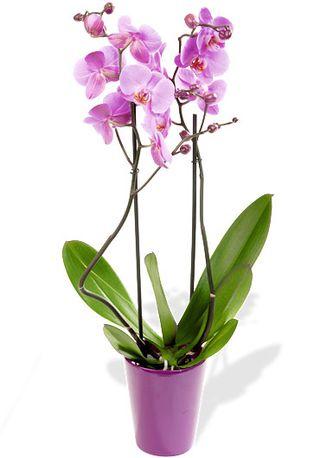 comment choisir une orchid e phalaenopsis le pouvoir des fleurs. Black Bedroom Furniture Sets. Home Design Ideas