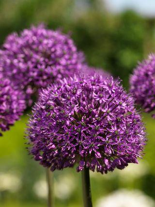 Allium-statos-10
