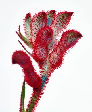 Anigozanthos_flavidus_close-up