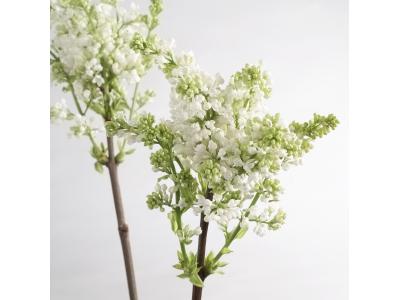 5 conseils pour conserver le lilas ou syringa en fleurs coupées