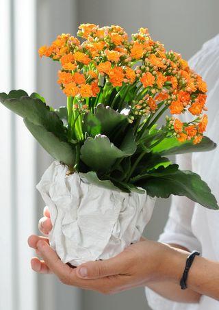 5 conseils pour votre kalancho ou calandiva le pouvoir des fleurs. Black Bedroom Furniture Sets. Home Design Ideas