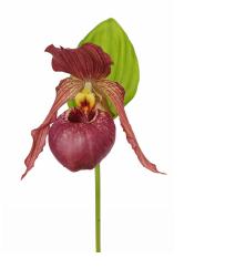 Nouveau : l'orchidée de jardin - Le pouvoir des fleurs