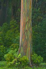 Eucalipto-arco-iris-04
